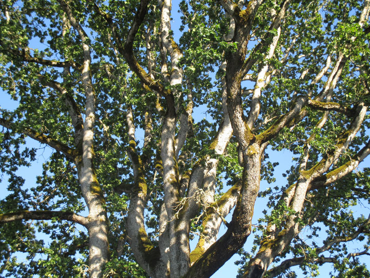 oak tree canopy